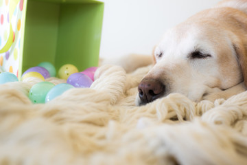 Labrador with easter eggs