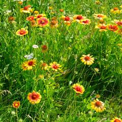 Fototapete - Beautiful yellow flowers on the lawn