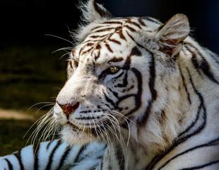 White tiger or bleached tiger (Panthera tigris tigris) Bengal