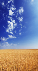 Wheat field under the blue sky with white clouds sunny vertical wallpaper panorama summertime