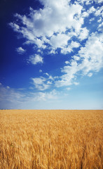 Wheat field under the blue sky with clouds sunny vertical wallpaper panorama