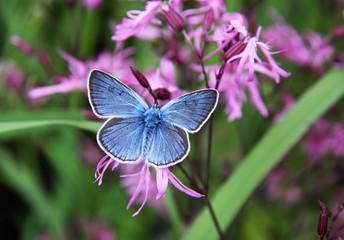 Beautiful blue butterfly on pink flowers