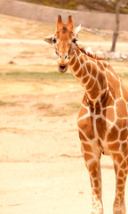 Funny looking giraffe smiling and laughing.