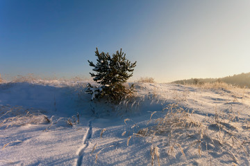 Young spruce in winter field