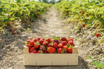 Red strawberries in a wooden box strawberry farm