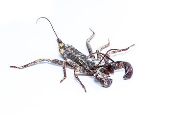 Isolated Whip scorpions on white background