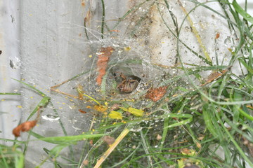 spider spinds  his web in the net