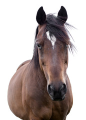 Portrait of a bay horse on a white background