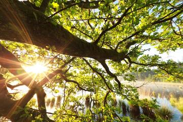 sunshine through oak tree leaves