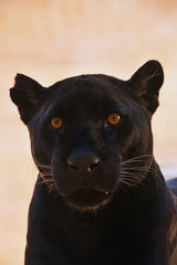 Photo sur Toile Panthère Close up portrait of black jaguar (Panthera onca)