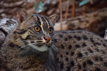 Close up portrait of fishing cat