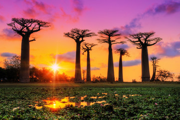 Photo on textile frame Baobab Beautiful Baobab trees at sunset at the avenue of the baobabs in Madagascar