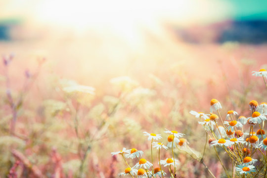 Late summer country landscape with daisies meadow and sunbeam, Beautiful  summer outdoor nature background with wild flowers