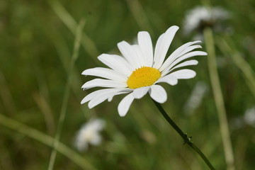 Perfect White and Yellow Daisy Flowering in a Field