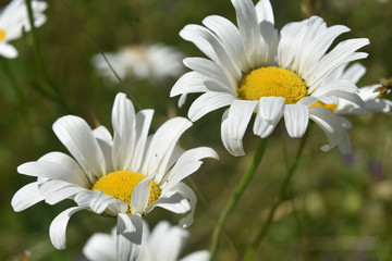 Pair of Blooming Common Daisies in Tall Grass
