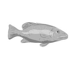 Schoolmaster Snapper Fish Drawing