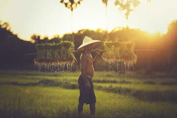 farmer on green fields holding rice baby.