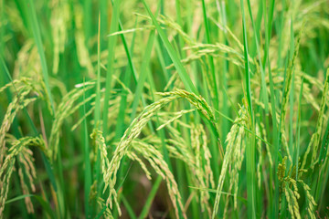 Green rice in Cultivated Agricultural Field Early Stage of Farming Plant Development (Selective Focus with Shallow Depth of Field)