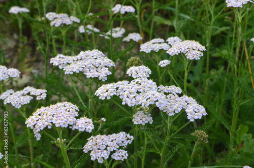 Achillea millefolium wild white meadow flowers healing medicinal achillea millefolium wild white meadow flowers healing medicinal and decorative herb mightylinksfo