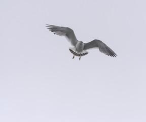 Flying seagull over sky.