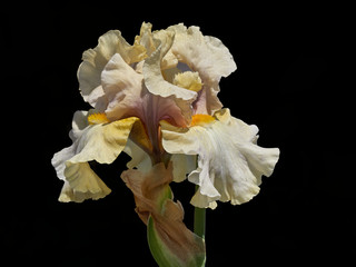 iris gladiolus in the garden