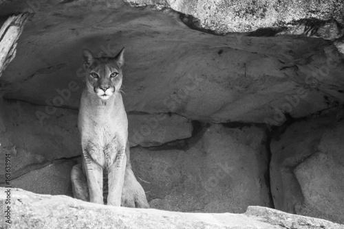 Puma in Schwarz Weiss