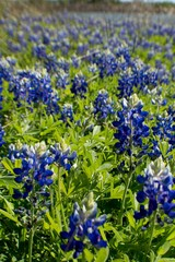 Fototapete - Bluebonnet field in Texas