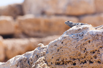 Desert lizard close up portrait on hot dry stones in archaeological site roman ruins in israel