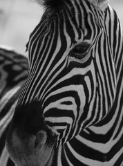 Poster Zebra White and black striped Zebra head closeup