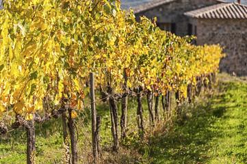 MONTALCINO - TUSCANY/ITALY: OCTOBER 31, 2016: Montalcino countryside, vineyard, cypress trees and green fields. Tuscany, Italy Europe.