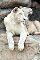Lioness albino resting