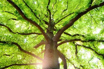 クスノキの巨樹