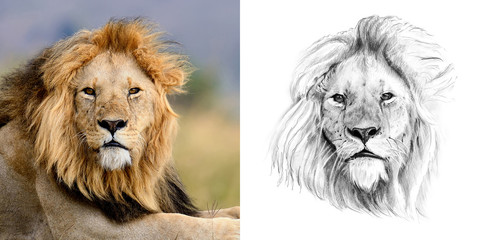 Portrait of lion before and after drawn by hand in pencil