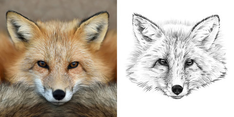 Portrait of fox before and after drawn by hand in pencil