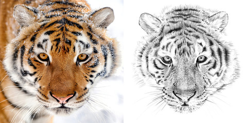 Portrait of tiger before and after drawn by hand in pencil