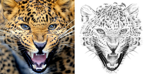 Portrait of leopard before and after drawn by hand in pencil