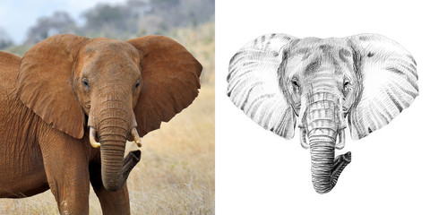 Portrait of elephant before and after drawn by hand in pencil