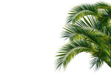 Stores photo Palmier Palmenblätter, palme freigestellt vor weißem hintergrund