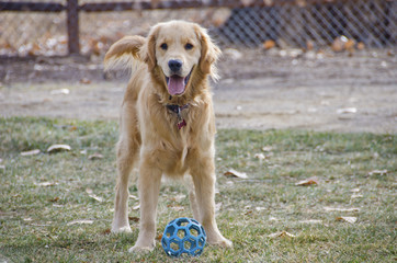 Golden Retriever Puppy Ready to Play Ball