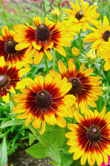 Denver Daisy Black Eyed Susans in Full Bloom