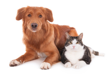 Nova Scotia duck tolling retriever dog and a cat lying together. Isolated on white.