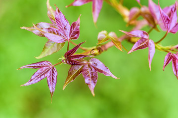Red young leaves of Maple, Liquidambar formosana, Chinese sweet gum or Formosan gum are blossoming on green background