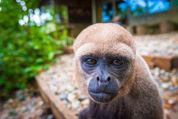 Monkey looking into the camera. Wild monkey.