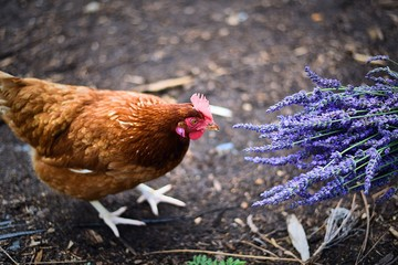 Curious chicken smelling fragrant bouquet of lavenders in North Fork, Long Island