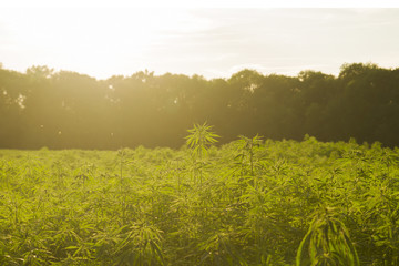 hemp industrail plantation