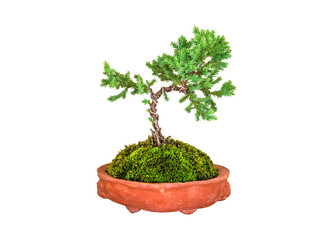 bonsai tree of pine in a earthenware pot isolated on white background with clipping path .