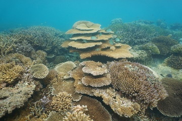 Underwater coral reef mostly Acropora corals in the lagoon of Grande Terre island, south Pacific ocean, New Caledonia, Oceania