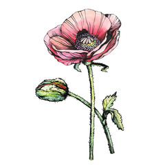 Graphic the branch red poppies flowers with a bud (Papaver somniferum, the opium poppy). Black and white outline illustration with watercolor hand drawn painting. Isolated on white background.