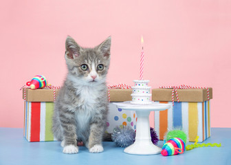 Fluffy gray and white kitten small birthday party, miniature cake with one pink and white candle burning. Pastel birthday presents with brightly colored mice. Blue table with pink background.