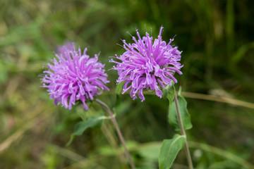Dual purple flowers